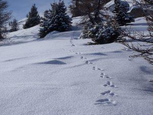 Traces de lièvre sur la neige