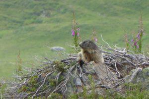 Marmottes en Maurienne Savoie