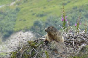 Marmottes en Maurienne